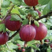 To buy saplings of fruit bushes Ukraine